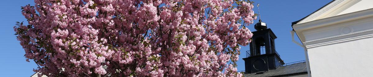 Blommande träd utanför Rådhuset i Köping.