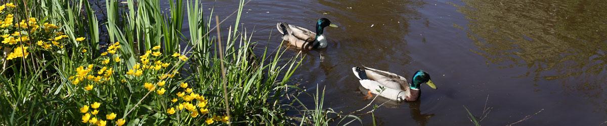 Änder som simmar i Köpingsån.