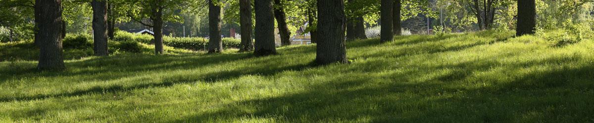 Grönskande gräs under ekar i Kungsör.
